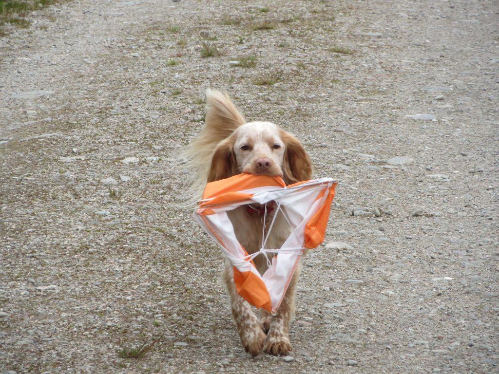 Dog carrying orienteering flag